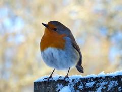 "Faithful Robin (nz_willowherb) Tags: robin see scotland tour erithacusrubecula perthshire visit tourist visitor redbreast killin to"" ""go visitkillin seekillin gotokillin"