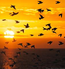 Sun, Sea and Starlings (Sue MacCallum-Stewart) Tags: sunset birds sussex coast brighton wildlife starlings murmuration