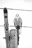 no prey, just a bunch of stupid photographers... (lynn.h.armstrong) Tags: wood winter bw white ontario canada black bird art monochrome photography photo eyes aperture nikon long flickr photographer village snowy wordpress south january feathers wb blogger images pole lynn livejournal upper h wires owl getty armstrong stormont facebook sault talons 2015 ingleside morrisburg twitter 500px tumblr d7000 lynnharmstrong pinterest