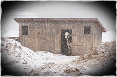 """""""Staying In Today"""" (J Henry G) Tags: winter wisconsin cow cows farming shed snowstorm shack dairyfarming holsteincow johnhenrygremmer"""