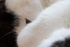 14.1.15 - Being an Ostrich (Pittypomm) Tags: sleeping white black macro eye cat whiskers hiding soren lorensen
