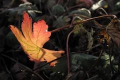 Berggarten 2015-01-17 (1) (noluck) Tags: winter macro nature backlight natur hannover colourful makro blatt botanicalgarden gegenlicht abendsonne berggarten