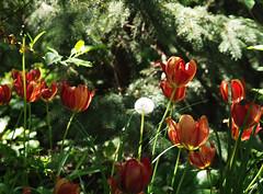 wiosna maj 2016 (koty3) Tags: flower tulip blume tulipa tulpen tulipano tulipes kwiat tulipan tulipn lale tulppaanit   laleaua