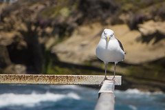 Seagull at Children`s Pool (jazzpics) Tags: california usa sandiego seagull lajolla bajacalifornia childrenspool