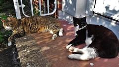 Kool kats (McArdle's5) Tags: cats feline tabby belfast northernireland piebald sunbathing halcyondays