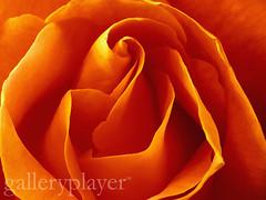 CB043383 (dklaproth) Tags: flowers orange plants beauty photography background colorphotography nobody fresh petal botany biology naturalworld sciences purity naturalsciences lifesciences closeupview