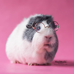Nerdy Pig (Marloeshi) Tags: pink pet cute nerd animal glasses guinea pig guineapig cavy geek adorable nerdy mieps