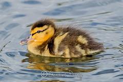 Mallard Duckling (parry101) Tags: lake bird castle birds wales duck view south ducks mallard mallards caerphilly