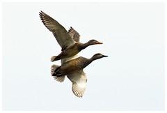 Ducks. Gadwall. Ana Strepera. (bo foto) Tags: nature birds photography ducks eend eenden gadwall anasstrepera krakeend boudewijnolthof
