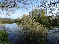 Willow budding (Phil Gayton) Tags: uk river spring willow devon dart totnes greywillow salixcineraoleifolia