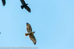 RedTailHawk battle 9_DSC5607.jpg (orig_lowolf) Tags: usa home oregon nikon flickr flight crow attacking redtailedhawk lakeoswego d300s sigma150500mmf563afapodgoshsmtelephotozoom