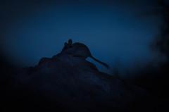 Liron silueta (trebol_a) Tags: nocturna muela mamiferos linterna lironcareto