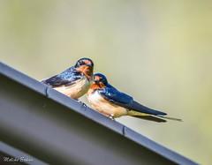 a pair of barn swallows (melike erkan) Tags: blue orange birds animal barn spring flickr dof may barnswallows flickrnature