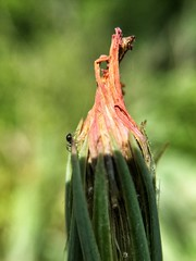 Ant Going into Hiding (ikilledkenny1029) Tags: insect ant bud sprout flowerbud