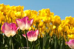 20160508-_DSC7707.jpg (BlonTT) Tags: polder bollen bloem tulp