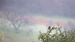 BlackBird - Turdus merula (jhureley1977) Tags: birds wales birding turdusmerula blackbird rspb britishbirds birdsofbritain ashutoshjhureley walesbirding rspbcymru