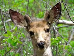 365-2-137 Fish Creek Park - Calgary - Young mule deer buck (benlarhome) Tags: canada calgary fauna wildlife alberta provincialpark fishcreek fishcreekpark gnneniyisithebestofday