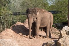Photo of Asian Elephant