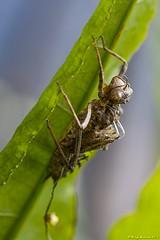 2016_05_19_1848 wylinka (heodes) Tags: molt wylinka przenieladwuplama epitecabimaculata