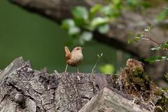 _F0A9610.jpg (Kico Lopez) Tags: birds rio spain aves galicia lugo mio troglodytestroglodytes chochncomn