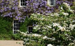Hammerwood House - West Sussex (Mark Wordy) Tags: westsussex wisteria viburnum ngs nationalgardensscheme georgianhouse opengarden iping hammerwoodhouse