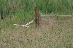 Barn Owl 'Keeping The Edgy' - Hamwall June 2016 (v3) (1) (Doyleecart Photography) Tags: uk summer england green bird grass gate hunting somerset barnowl westcountry rspb hamwall doyleecart