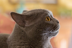 Min (agosto957) Tags: grigio felino gatto certosino min