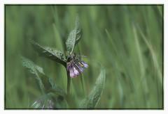 Common Comfrey (Symphytum officinalis) (kishwphotos) Tags: travel flowers england plants holiday nature whiteflower unitedkingdom dorset pinkflower gb wildflower weymouth naturalworld commoncomfreysymphytumofficinalis