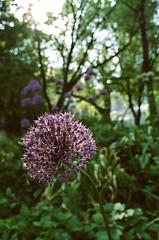 Globeflower (Georgie_grrl) Tags: toronto garden purple pentaxk1000 globeflower rikenon12828mm hangingoutwithmskat springshootingshenanigans