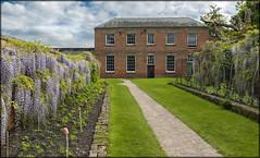 Calke Abbey Wisteria 3 (Darwinsgift) Tags: abbey gardens zeiss 35mm garden nikon derbyshire national carl trust f2 wisteria distagon calke d810
