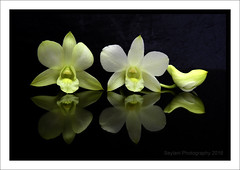 orchid reflection (uvaisjm - Al Seylani Photography) Tags: flowers reflection closeup flora tabletopphotography floralstilllife