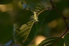 Changing skin. (Azariel01) Tags: brussels garden leaf belgium belgique belgie skin jardin bruxelles grasshopper molt peau sauterelle feuille japanesecherrytree 2016 mue cerisierdujapon