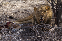 A lone young male Lion found with a kill hiding from the afternoon sun (robsall) Tags: africa vacation cat mammal big feline lion bigcat 7d lions endangered predator namibia canoneos lioness 70200 bigcats carnivore vulnerable 2015 pantheraleo canon70200mm canon7020028 oshikoto canoneos7d canon7d largefelines canon70200mmf28isiiusm robsallphotography 7dmarki