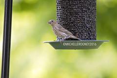 IMG_4615eFB (Kiwibrit - *Michelle*) Tags: tree grass birds woodpecker squirrel maine feeder chipmunk monmouth 2016 061916