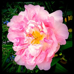 Pretty pink pastels (JulieK (had forgotten what hard work puppies are)) Tags: pink flower colour texture petals flora pretty pastel squareformat tulip hss sliderssunday canonixus170