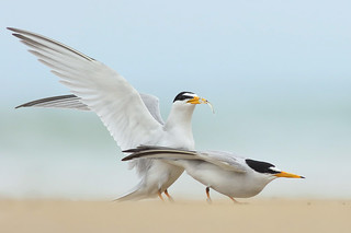 Least Tern Courting/Mating Series 5/10