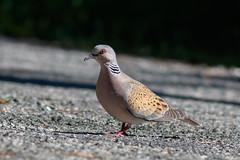 _F0A1973.jpg (Kico Lopez) Tags: birds rio spain aves galicia lugo mio streptopeliaturtur trtolaeuropea