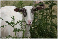 Stadskudde Grunn (Dit is Suzanne) Tags: img9267 11062016 nederland netherlands  groningen  reitdiep ditissuzanne canoneos40d wandeling walk   summer zomer stadskudde stadskuddegrunn schaap sheep  stadskuddegroningen views100