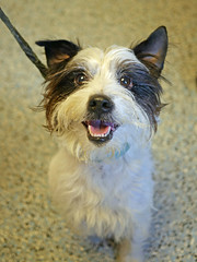 Scamper_01 (AbbyB.) Tags: rescue dog pet animal newjersey canine shelter adopt shelterpet petphotography easthanovernj mtpleasantanimalshelter