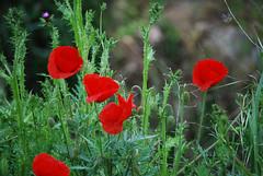 Amapolas (BONNIE RODRIGUEZ BETETA) Tags: amapolas flores zamora naturaleza castillaylen