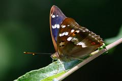 _F0A3516.jpg (Kico Lopez) Tags: rio spain galicia mariposas lugo mio apaturailia tornasolada