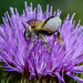 Wildbiene bee Megachile sp. 160707 065.jpg