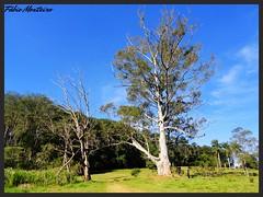 Paisagem / Landscape (Fbio & Carol) Tags: brazil sky tree verde green planta nature field brasil clouds rural landscape countryside nuvole farm natureza paisagem cu nubes nuvens campo stio nuvem tronco rvore lazer horizonte caipira fazenda eucalipto amricadosul interiordesopaulo avarsp sonydsch55 hortoflorestaldeavar