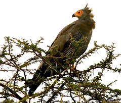 African Harrier Hawk - Gymnogene d'Afrique (charbonjoh) Tags: tanzania lakendutu africanharrierhawk polyboroidestypus gymnognedafrique largebirds