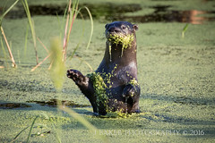 Waveing Goodbye (J Baker Photography) Tags: florida wetlands waveing goodbye adult river otter