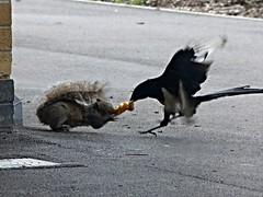 L2016_3276 - School Playground Fight - Squirrel v Magpie 3 (www.jhluxton.com - John H. Luxton Photography) Tags: leica uk school bird animal animals liverpool squirrel wildlife magpie merseyside greysquirrel schoolyard johnhluxtonphotography schoolyardfight