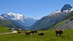 La Paix dans l'Alpage Peace on the Alpage Chamonix Mont Blanc (CHAM BT) Tags: alpes montagne neige alpage vache vert lherbe paturage chalet vallee paisible alps mountain snow cow green grass valley peaceful montblanc france hautesavoie