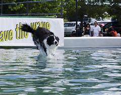 Water Walker (Saomik) Tags: ontario canada august kingston dockdogs 2013 grasscreekpark kingstonsheepdogtrials