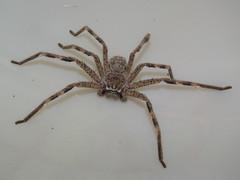 Sparassidae>Neosparassus calligaster Shield Huntsman spider DSCF5569 (Bill & Mark Bell) Tags: exmouth westernaustralia australia geo:town=exmouth geo:state=westernaustralia geo:country=australia geo:lon=11425453egeolat2217752sgeoalt8m 11425453e2217752salt8m taxonomy:kingdom=animalia animalia taxonomy:phylum=arthropoda arthropoda taxonomy:class=arachnida arachnida taxonomy:order=araneae araneae taxonomy:superfamily=sparassoidea sparassoidea taxonomy:family=sparassidae sparassidae taxonomy:genus=neosparassus neosparassus calligaster taxonomybinomialnameneosparassuscalligaster neosparassuscalligaster taxonomycommonnameshieldhuntsmanspider shieldhuntsmanspider spider