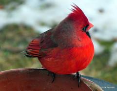 DSC_0711 (rachidH) Tags: snow nature birds cardinal nj sparta oiseaux cardinaliscardinalis redbird northerncardinal cardinalrouge rachidh